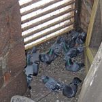 pigeons living inside steeple