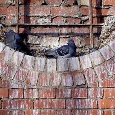 pigeon_intro